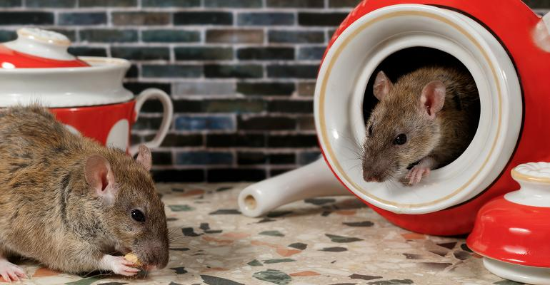 rats on kitchen counter